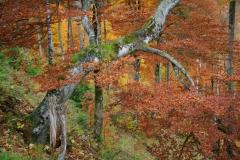 Herbstfärbung Rotbuche, Nationalpark Kalkalpen