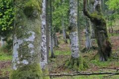 Alter Buchenwald im Nationalpark Kalkalpen
