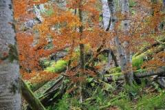 Buchenwald, Nationalpark Kalkalpen